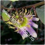 Passiflora standleyi_1