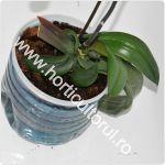 Udarea orhideelor_150