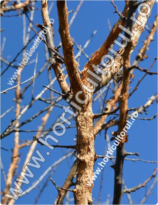 Cariul scoartei pomilor (Scolytus rugulosus)