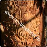 Cariul scoartei pomilor-Scolytus rugulosus_150