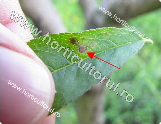 Ciuruirea bacteriana a frunzelor de piersic