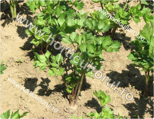 Cultivarea Telinei de radacina-in gradina