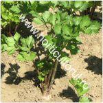 Cultivarea Telinei de radacina_1