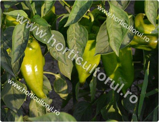 Cultivarea ardeiului in gradina si camp