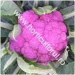 Cultivarea conopidei de toamna_150