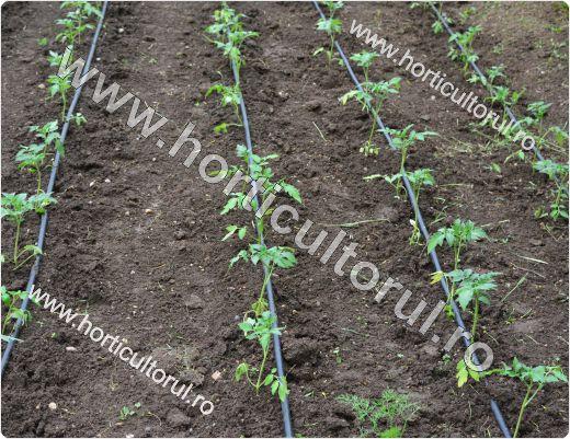 Cultivarea tomatelor-rosiilor in gradina