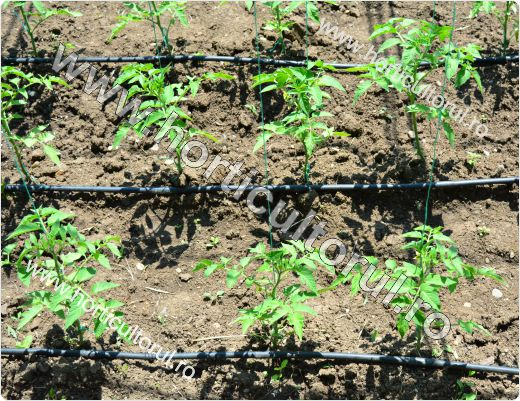 cultivarea tomatelor in gradina