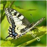 Fluturele coada de randunica-Papilio machaon_1