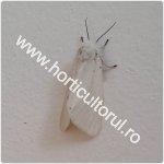 Fluturele cu abdomenul auriu-Euproctis chrysorrhoea_150