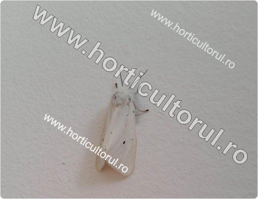 Fluturele cu abdomenul auriu-Euproctis chrysorrhoea_520