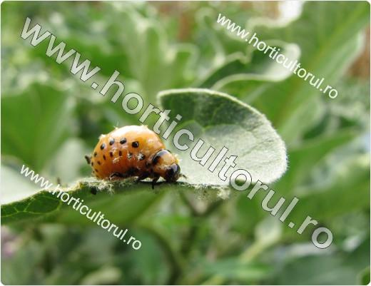 Gandacul de Colorado (Leptinotarsa decemlineata)