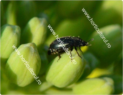 Gandacul lucios al rapitei (Meligethes aeneus)