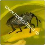 Gargarita semintelor de crucifere-Ceutorhynchus assimilis_150