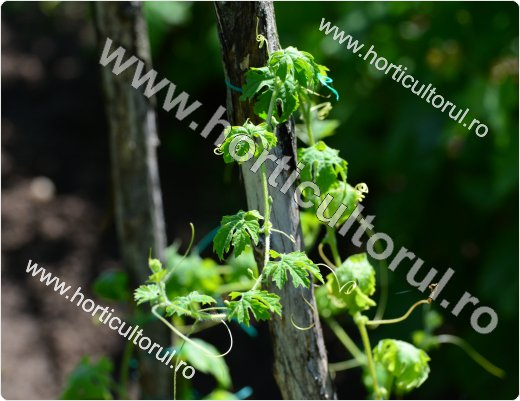Castravetele amar (Momordica charantia)