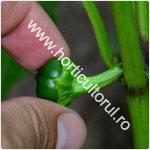 Inlaturarea de pe ardei a primelor flori_fructe_150