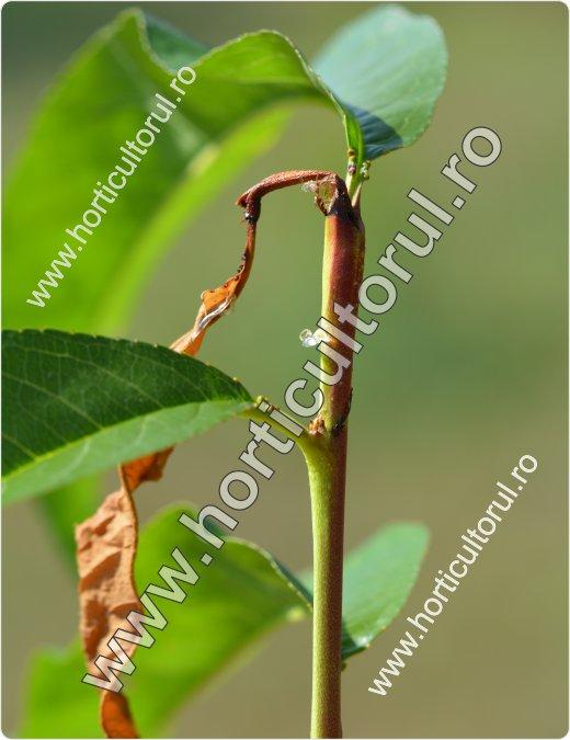 Molia vargata a piersicului (Anarsia lineatella)