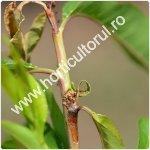 Molia vargata a piersicului_Anarsia lineatella_150