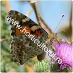 Omida-Fluturele scaietilor-Vanessa cardui_150