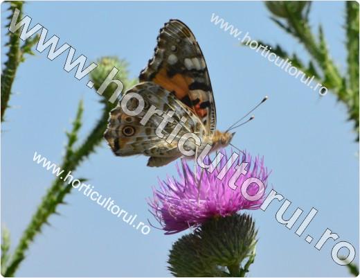 Fluturele Scaietilor (Vanessa cardui)