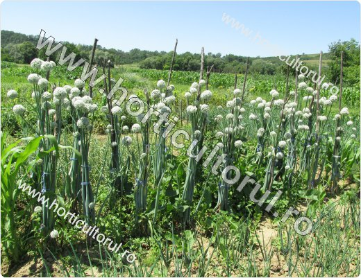 Producerea semintelor de ceapa-plantat bulbi