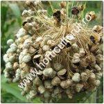 Producerea semintelor de ceapa_150