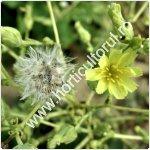 Producerea semintelor de salata_150