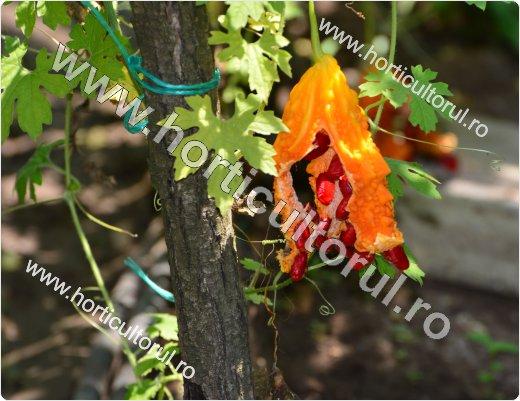 Recoltarea fructelor de castravete amar_1
