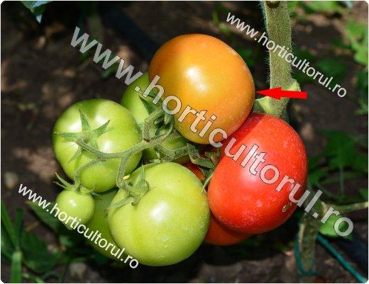 Recoltarea tomatelor pentru comercializare-2