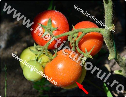 Recoltarea tomatelor pentru comercializare-3