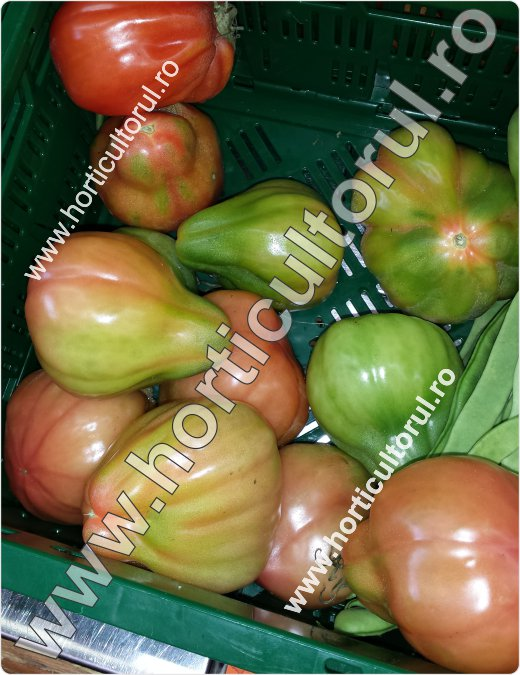 Recoltarea tomatelor pentru comercializare-4