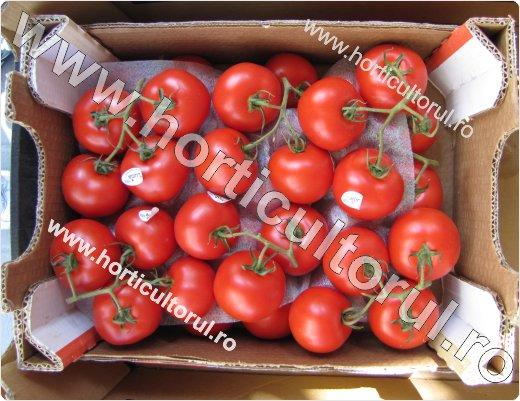 Recoltarea tomatelor pentru comercializare-5