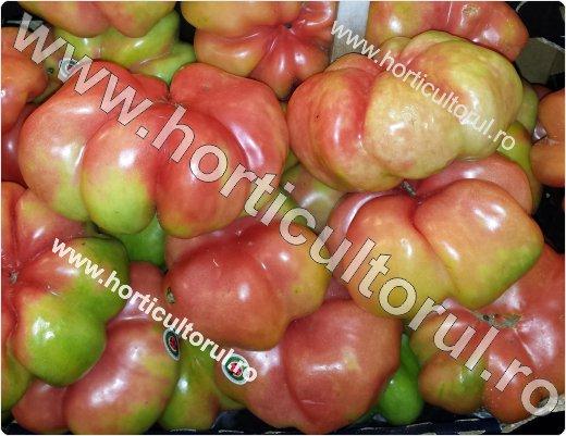 Recoltarea tomatelor pentru comercializare-6