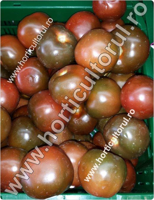 Recoltarea tomatelor pentru comercializare-7