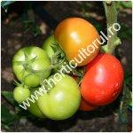 Recoltarea tomatelor pentru comercializare_150