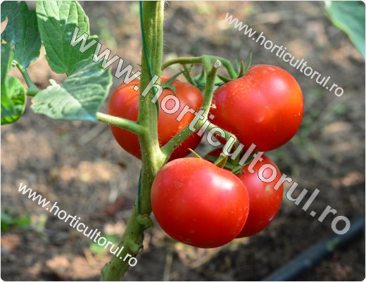 Fig. 1 Secrete pentru coacerea fructelor de tomate