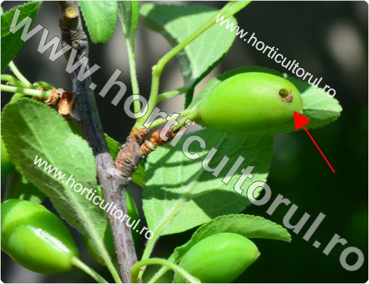 Viespea neagra a prunelor (Hoplocampa minuta)