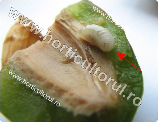 Viespea semintelor de prun (Eurytoma schreineri)