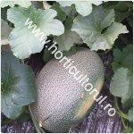 cultivarea pepenilor galbeni in gradina_camp_150