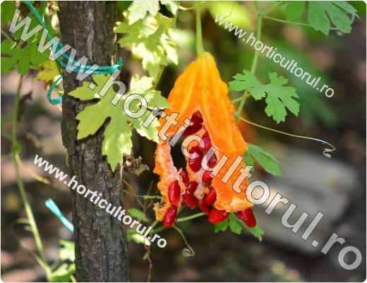 cultura-cultivarea castravetelui amar_8