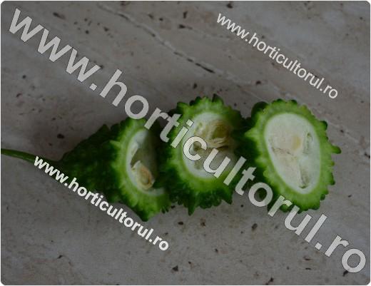 cultura-cultivarea castravetelui amar_9