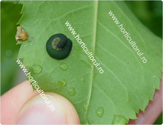Viespea neagra a trandafirului (Allantus cinctus)
