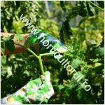 Carnirea tomatelor-rosiilor_150