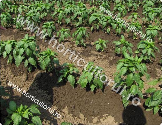 Cultivareagogosarului in gradina si camp