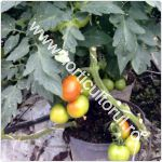 Cultivarea tomatelor in ghivece pe balcon_terasa_150