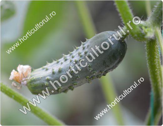 Fig. 2 Cum evitam amareala castravetilor