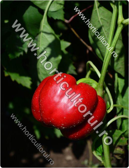 Fig. 1 Ardeiul Gogosar Capsicum annuum 'Gogosar'