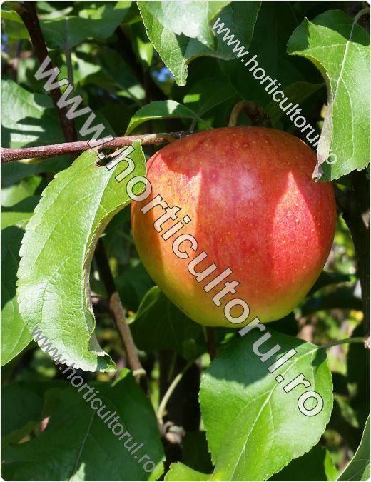 Recoltarea merelor_1