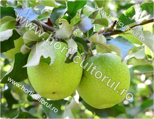 Recoltarea merelor_2