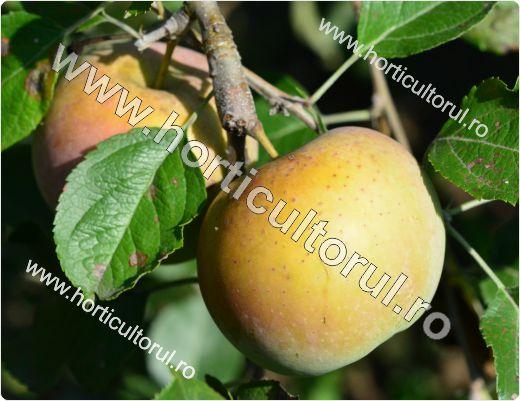 Recoltarea merelor_3