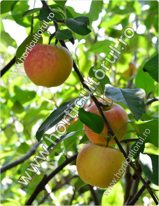 Recoltarea merelor_4